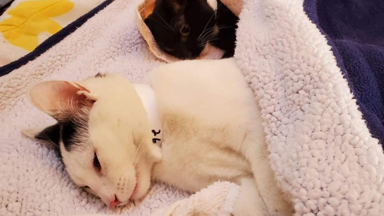 Cats recovering from surgery